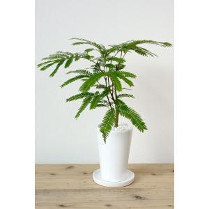 8種類から選べる ミニ 観葉植物 白陶器のボールポットとロングポット ガジュマル ポトス エバーフレッシュ ソテツ(蘇鉄)|saisyokukenbi|11