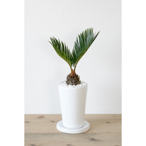 8種類から選べる ミニ 観葉植物 白陶器のボールポットとロングポット ガジュマル ポトス エバーフレッシュ ソテツ(蘇鉄)|saisyokukenbi|13