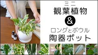 選べるミニ観葉植物 白陶器のボールポットとロングポット