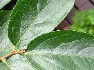 柿の葉・カキの葉画像