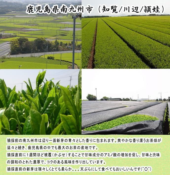 知覧新茶・茶畑・鹿児島・新芽