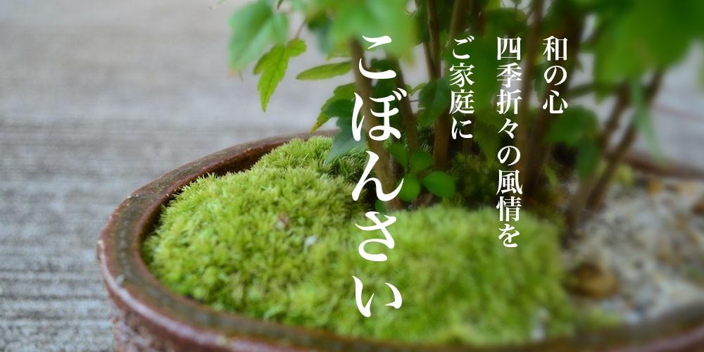 桜盆栽、梅盆栽をはじめ、椿や藤、あじさいなどを贈り物に