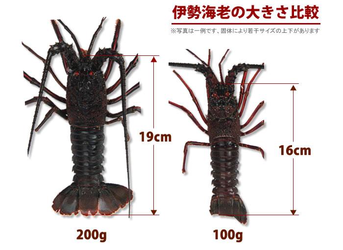 伊勢海老のサイズ比較