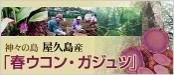 屋久島ウコン