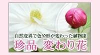 珍品・変わり花