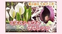 水芭蕉・座禅草