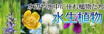水生植物苗