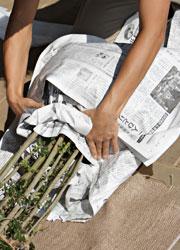 新聞紙で根鉢を覆う
