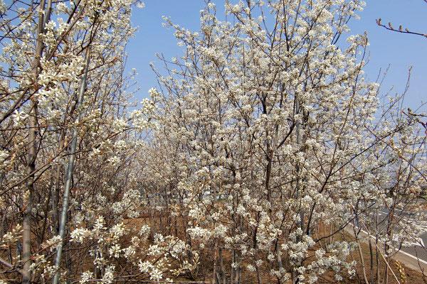 ラマルキーはジューンベリーの中でも花付きの良い品種です!