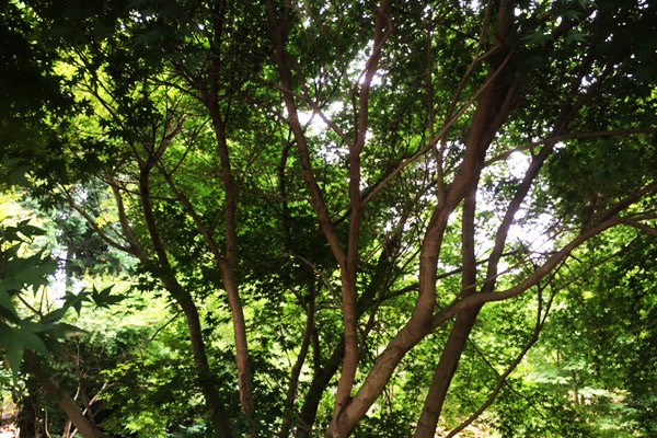 自然樹形のイロハモミジ