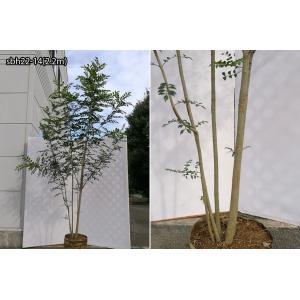 【自然樹形】シマトネリコ株立 2.2m程度(根鉢含まず)|shop8463|10