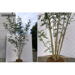 【自然樹形】シマトネリコ株立 2.2m程度(根鉢含まず)|shop8463|09