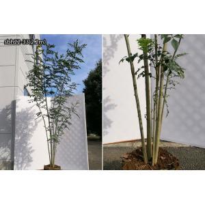 【自然樹形】シマトネリコ株立 2.2m程度(根鉢含まず)|shop8463|11