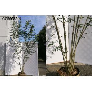 【自然樹形】シマトネリコ株立 2.2m程度(根鉢含まず)|shop8463|12