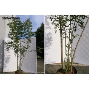 【自然樹形】シマトネリコ株立 2.2m程度(根鉢含まず)|shop8463|13