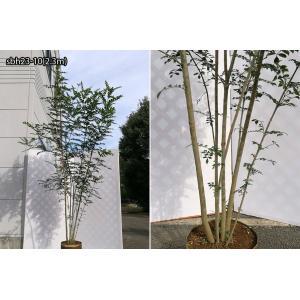 【自然樹形】シマトネリコ株立 2.2m程度(根鉢含まず)|shop8463|14