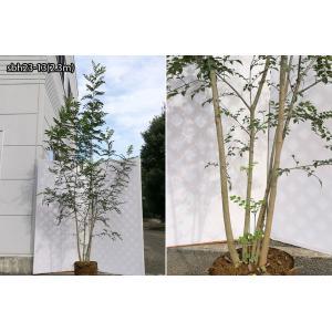 【自然樹形】シマトネリコ株立 2.2m程度(根鉢含まず)|shop8463|15