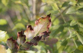 葉の縁から枯れたように乾燥する