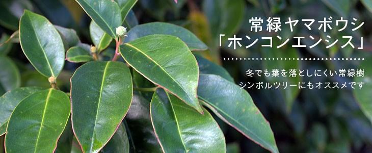 常緑ヤマボウシ「ホンコンエンシス」
