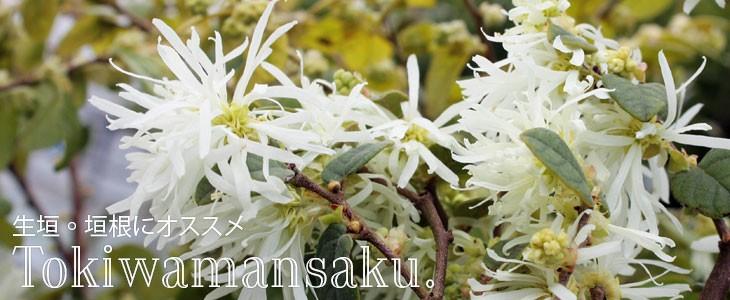 トキワマンサク 青葉白花