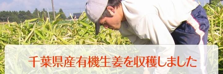千葉県産有機生姜の収穫