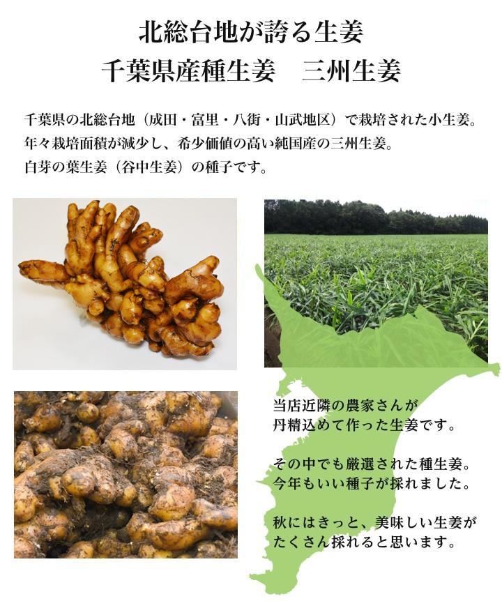 【種生姜】タイ産 完熟種生姜(近江生姜 白)10kg