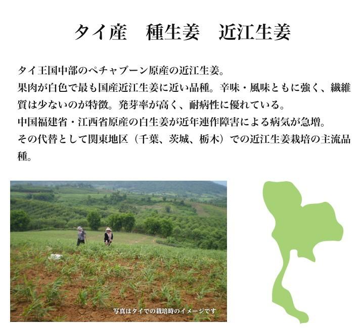 【種生姜】タイ産 近江生姜(白)10kg