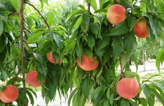 福島の真っ赤な完熟桃