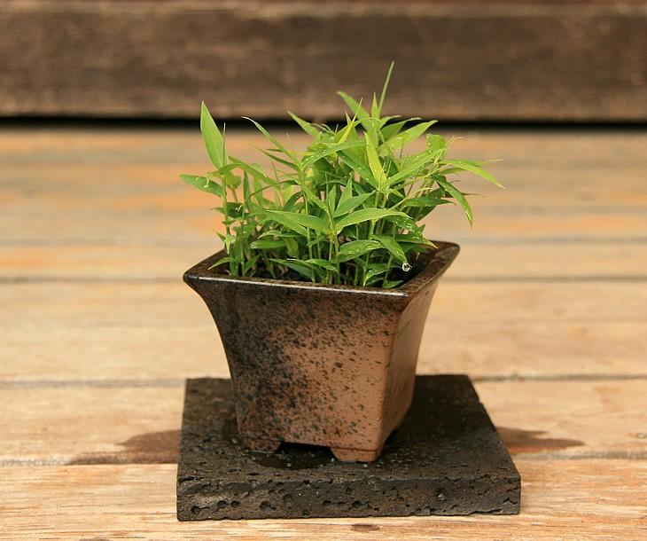 於呂島竹 3.5号盆栽1 正面から見た状態