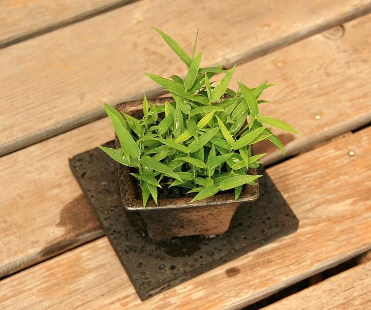 於呂島竹 3.5号盆栽1 上から見た状態