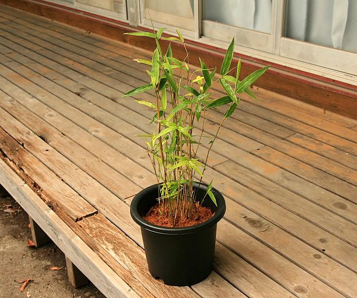 蓬莱竹の鉢植え