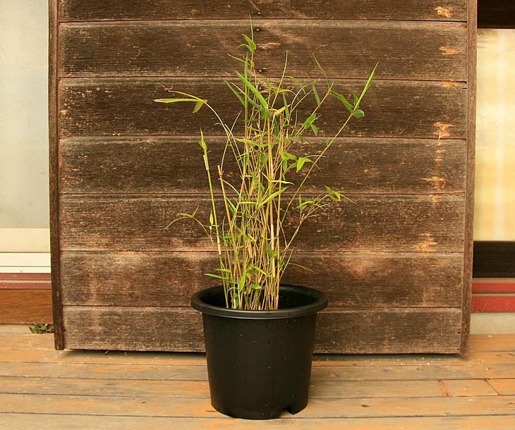 蓬莱竹の鉢植え 正面から見た状態