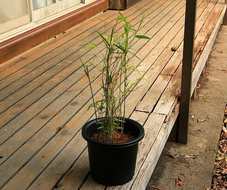 蓬莱竹の鉢植え 縁側2