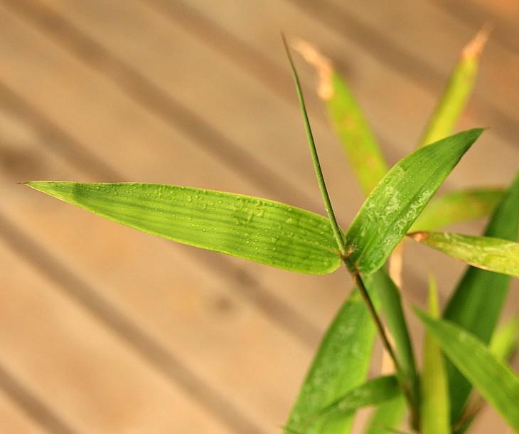 蓬莱竹の鉢植え 葉の形