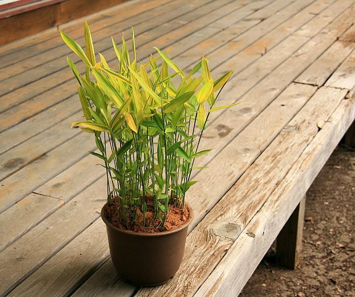禿笹の鉢植え