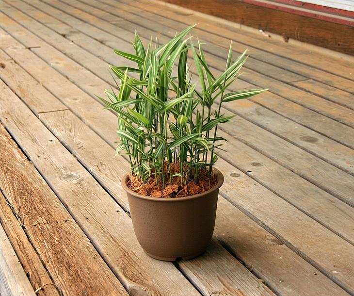 稚児笹の鉢植え