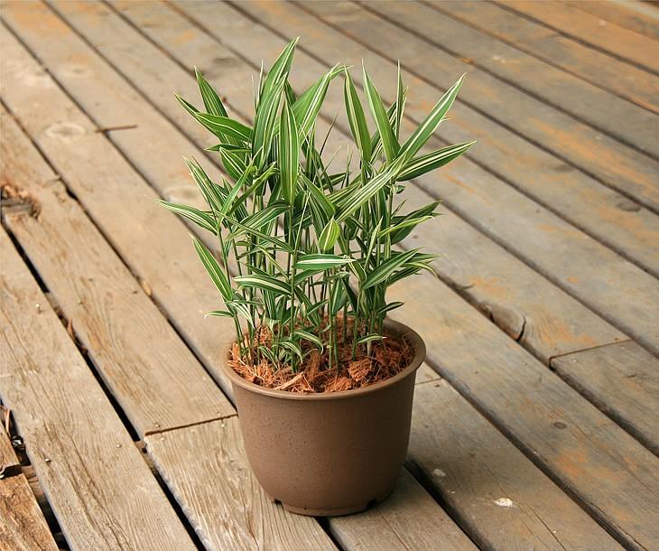 禿笹の鉢植え 縁側