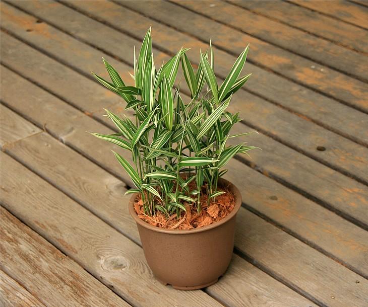 禿笹の鉢植え 縁側2