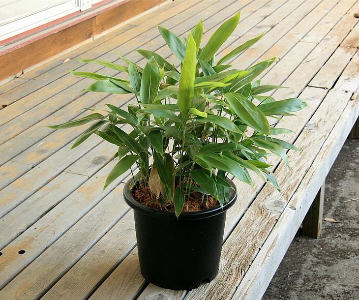 粽笹の鉢植え 縁側