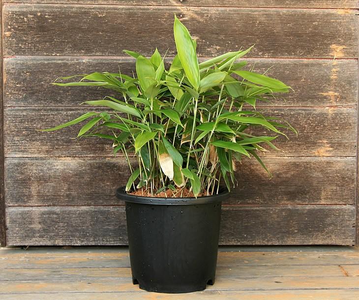 粽笹の鉢植え 正面から見た状態