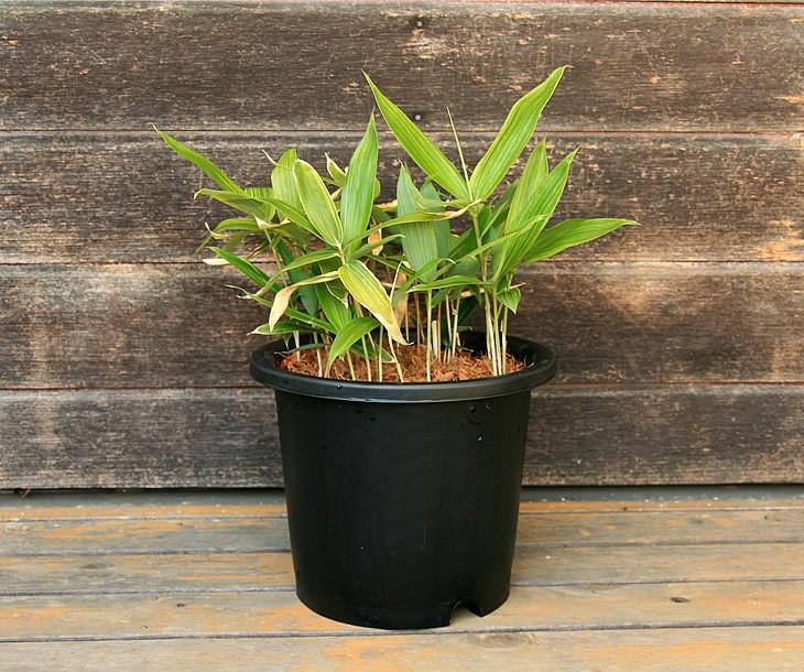 斑入粽の鉢植え 正面から見た状態
