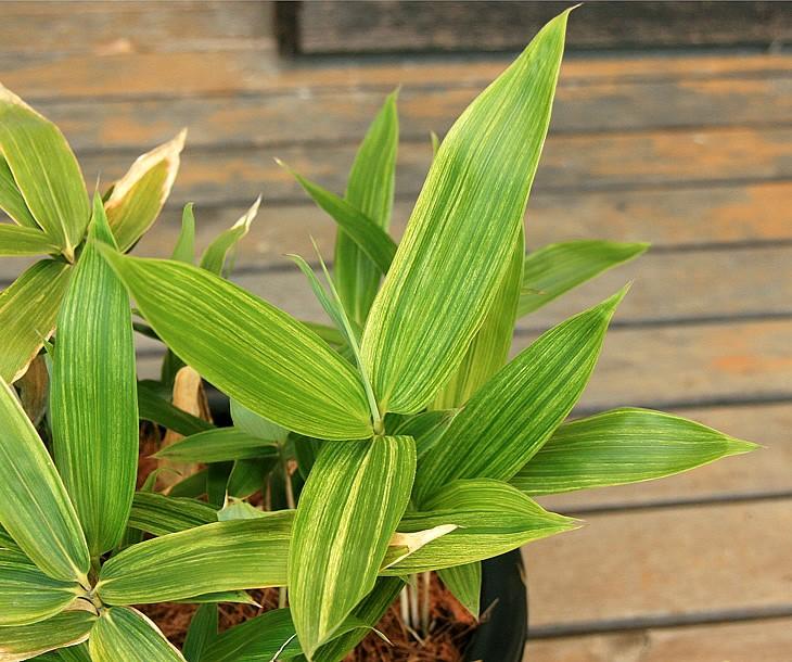 斑入粽の葉