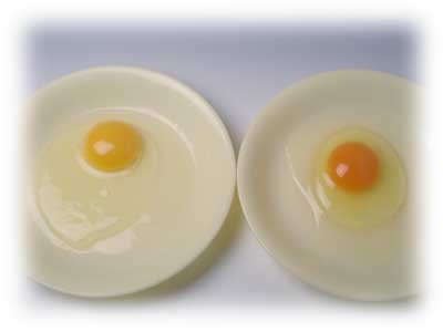 左、市販の卵、右、有精卵