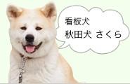 看板犬 秋田犬・さくら