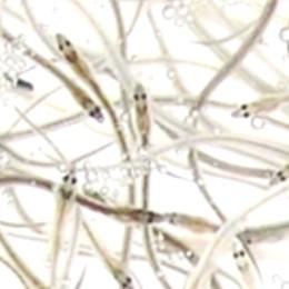 うなぎの刺身 シラスウナギ 究極のうなぎ料理 静岡県 浜名湖産 最高級
