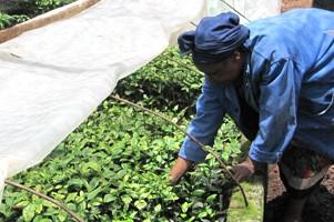 アフリカ最高峰「キリマンジャロ」で栽培されるアフリカ代表銘柄