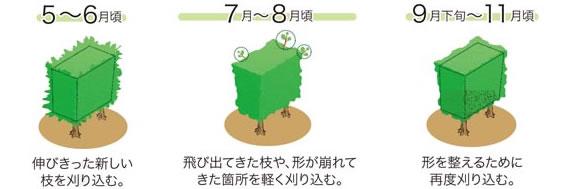 5〜6月頃:伸びきった新しい枝を刈り込む。7〜8月頃:飛び出してきた枝や、形が崩れてきた箇所を軽く刈り込む。9月下旬〜11月頃:形を整えるための再度刈り込む。
