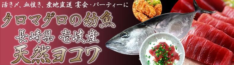 長崎県 壱岐島 ヨコワ マグロの幼魚