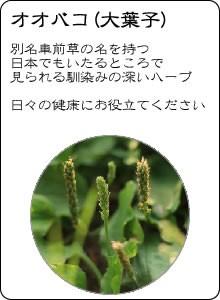 ヴィーナース|オオバコ茶