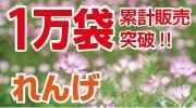 れんげ草の種子!